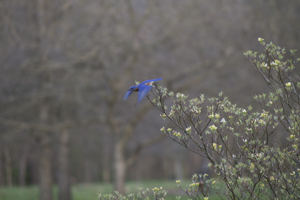 Eastern Bluebird mid take off from a tree branch